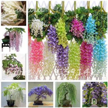 Wisteria Flower Seeds Bonsai Wisteria, Purple Yellow White Pink Wisteria Seeds, Indoor Ornamental Plants Flower 10 pcs / bag