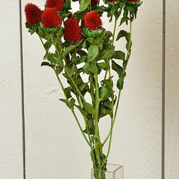Dried Clover Flowers in Red - 2 Stems per Bunch