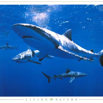 Sharks Living Nature Poster 24x36