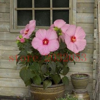 100 pcs hibiscus seeds Giant Hibiscus Flower Seeds for  Garden & Home Perennial Potted Plants  Bonsai Grass Seed