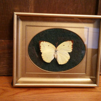 Vintage Framed Common Grass Yellow Butterfly Specimen