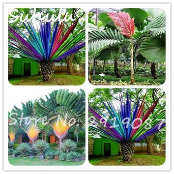 Rare Cycas Seeds 10 pcs Rainbow Palm Tree Seed Bonsai Beautiful Flower Seeds Perennial Bonsai Diy Home Garden Plants Free Ship
