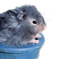 Male Long-Haired Hamster