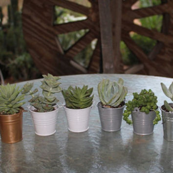 6 Gorgeous Succulents In 6 Adorable Silver, Tin or Gold or White Pail pails .Complete Wedding Favor Kit succulent party gifts