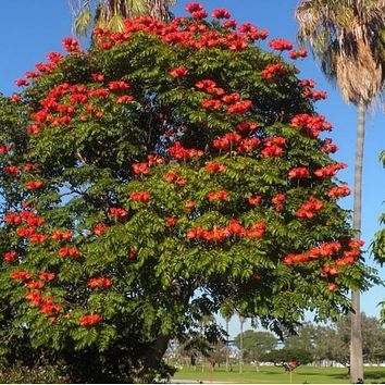 African Tulip Tree Seeds (Spathodea campanulata) 25+Seeds