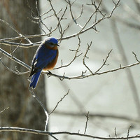 Winter Bluebird Photograph by Rebecca Sherman - Winter Bluebird Fine Art Prints and Posters for Sale
