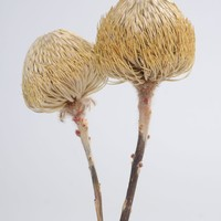 "Dried Banksia Protea Pod Bunch in Natural Color - 12-18"" Tall"