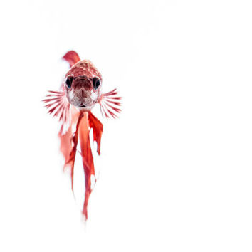WATCHFUL - Betta Fish Fine Art Photography - Animal Lover - Pet Fish - Photo - Underwater - Gift Idea - Wall Art - Print - Goldfish