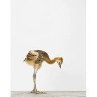 Baby Crane No. 1 | Sharon Montrose | The Animal Print Shop | Baby Animal Photography Prints