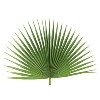 Decorative Fan Palm