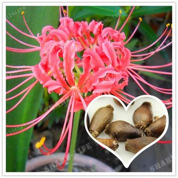 Rare Pink Lycoris Radiata Bulbs,(Not Seeds), Potted Plants Planting Seasons Indoor Bonsai Plant For Home Garden-2 Bulbs
