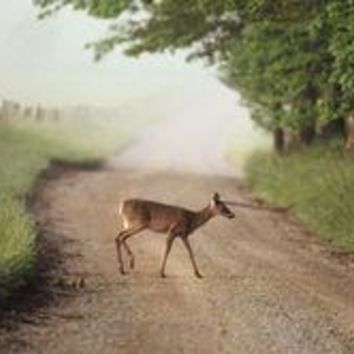 White tailed deer crosses a dirt road in Cades Cove