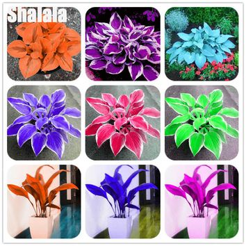 100 Pcs Hosta Seeds Fragrant White Lace Plantain Lily Flower Indoor Bonsai Pot Plants sementes de flores