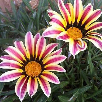 Gazania Garden Leader Rose Striped Seeds (Gazania Rigens) 10+Seeds