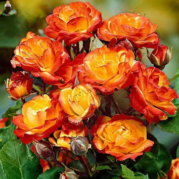 100 Pcs Rose Flower Rare Color Exotic Bonsai Rainbow Roses Flowers Plant Perennial Garden Decoration Bonsai Jardim Plantas