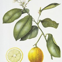 Google Image Result for http://images.fineartamerica.com/images-medium-large/citrus-bergamot-margaret-ann-eden-.jpg