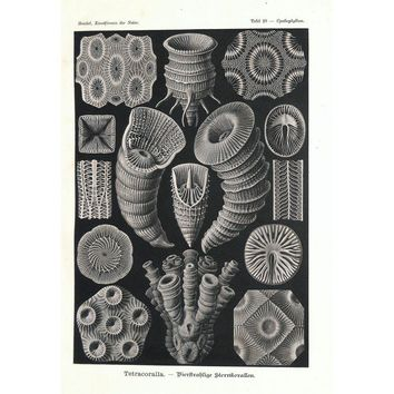 Pre-owned  1900 Ernst Haeckel Tetracoralla, Pl. No. 29