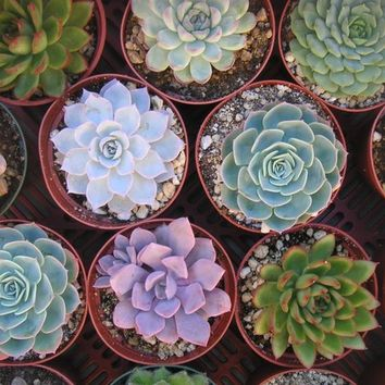 3 Large Succulent Plants, Great for Weddings, Table Decor and Bouquets, Centerpiece, Rosette Shape