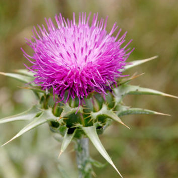 250 Seeds Milk Thistle Silybum Marianum Flower Seeds / Medicinal Plant