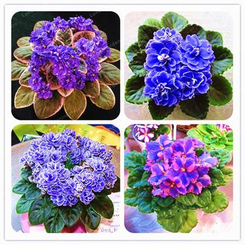 100 PCS Saintpaulia  Ionantha Seeds Beautiful plant Bonsai Flower Seed African Violet Seeds DIY Home Garden Plants
