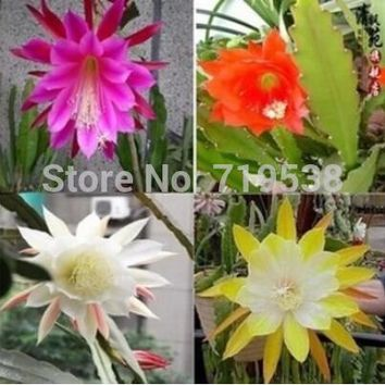 (50 pieces/bag) ,Nopalxochia seeds,orchid cactus ,potted seed,variety complete