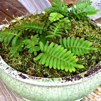 DIY Terrarium Kit: Live Mini Woodland Fern and Sphagnum Moss