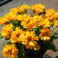Heirloom 500 Seeds Coreopsis Sunray Tickseed Flower Bulk Seeds A0028