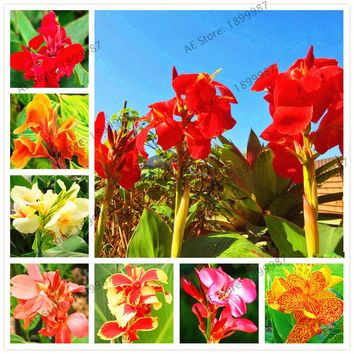 Bonsai Flower Seeds Potted Seed Canna Lily Seeds - PRETORIA - Variegated Foliage - Exotic Blooms 107Pcs