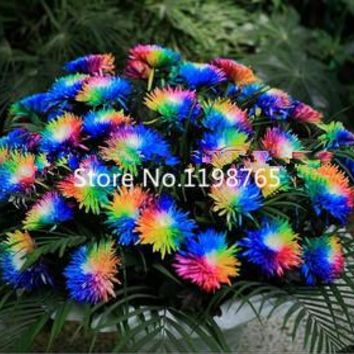 200 Pcs/bag, Rainbow Chrysanthemum Flower Seeds,new Arrival Diy Home Garden Plant Sementes Plants Bonsai Seeds Flores