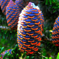 50 Korean Fir Seed ,Abies Koreana Tree Seed Flower Bonsai Plant DIY Home Garden Decor Outdoor