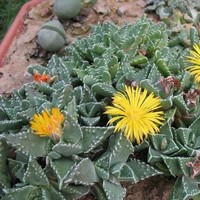 Pebbled Tiger Jaws Succulent Seeds (Faucaria tuberculosa) 20+Seeds