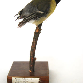 Great tit, Parus Major, Taxidermy Bird, Swedish taxidermy, 1962, Louis Andersson, Malmö, Talgoxe