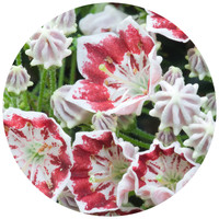 Paul Moore's Mountain Laurel Circle wall decal