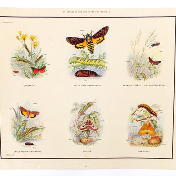 Moths, Macmillans Vintage School Chart, Large Educational Print, Frohawk Illustrations, Vintage Poster, Lepidoptery