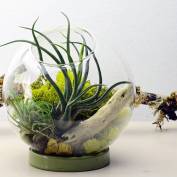 Table Terrarium with ceramic ring - Air Plant - Holiday Home Decoration - Green Gift
