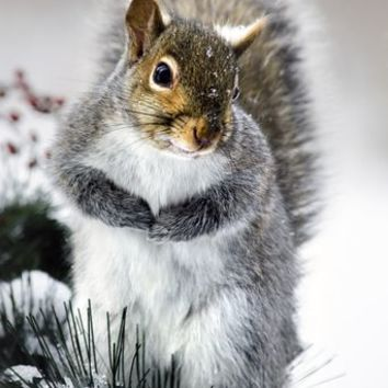 Winter Squirrel by Christina Rollo on Crated