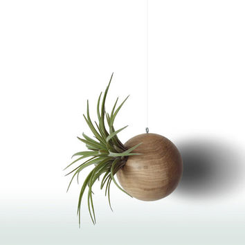 Air Plant Hanging Planter with Tillandsia Brachycaulos var. Abdida, Air Plant Holder, Modern Home Decor, Plant Holder, Macrame Plant Hanger