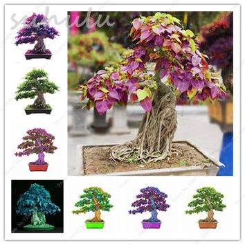 New Bodhi Tree Seeds 6 Pcs Widely Cultivated Peepal Ficus Religiosa Seeds Evergreen Shrub Sacred Fig Seeds Japan Import