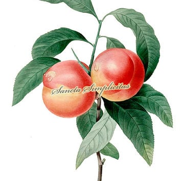 The Peach «Pecher a Fruits Lisses» Botanical Illustration Digital Download Printable Image no. 083