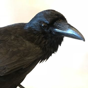Carrion Crow Taxidermy Mount