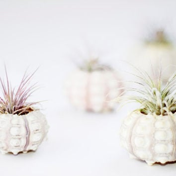 Simple Urchin  Air plant by LBrandt on Etsy