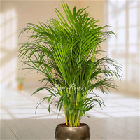 20 pcs Palm bamboo Seeds Lady Palm tree plant seed indoor Home Garden plant Tree seeds