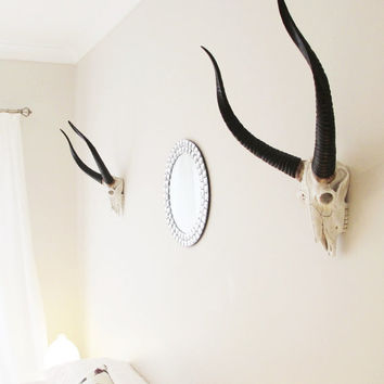 Animal Skull, Skull, African Decor, Antelope Skull, Antelope, Antlers, Deer Antlers, Deer Skull, Animal Skulls Australia, Hodi Home Decor