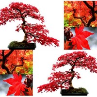 RED MAPLE Tree Seeds - Acer rubrum - EXCELLENT for JAPANESE BONSAI - Grows In Full Sun OR Partial Shade - By MySeeds.Co (Red Maple x 1 Pack)