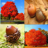 10pcs Red Oak Tree seeds bonsai tree seeds Quercus Alba Shade Acorn Seeds plant for home garden