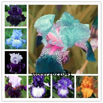 50pcs iris seeds,Iris orchid seeds,Rare Heirloom Tectorum Perennial Flower Seeds,24 colours to choose,plant for home bonsai