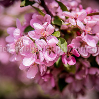Cherry Tree In Bloom Instant Digital Download Fine Art Photography Macro Close-Up Pink Flower Photography Spring