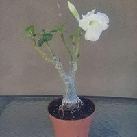9GreenBox - White Angel Desert Rose