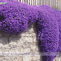 Flower seeds 100 Aubrieta Seeds - Cascade Purple FLOWER SEEDS, Superb perennial ground cover , flower seeds for home garden