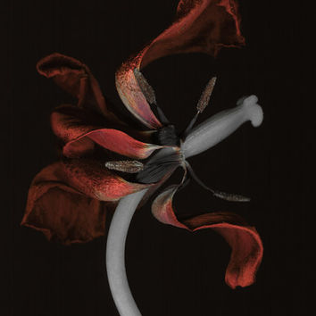 Oversized botanical wall decor.Tulip dark photography.Contemporary floral art.Tulip Tango .Scanography art.Sizes from 5x7 to 40x50.